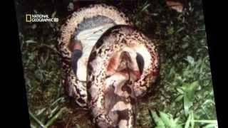 National Geographic – İnsan yiyen yılanlar (HD) Türkçe Dublaj