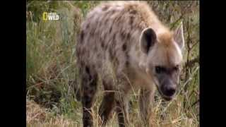 National Geographic – Aslan ile insanın dostluğu (Türkçe Dublaj)