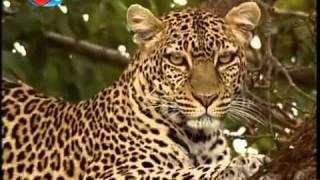 BBC | Büyük Kedilerin Günlüğü – 2.Bölüm